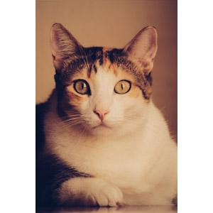 フリー写真, 動物, 哺乳類, 猫(ネコ), 三毛猫, 目を見開く(動物)
