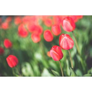 フリー写真, 植物, 花, チューリップ, 赤色の花, 花畑