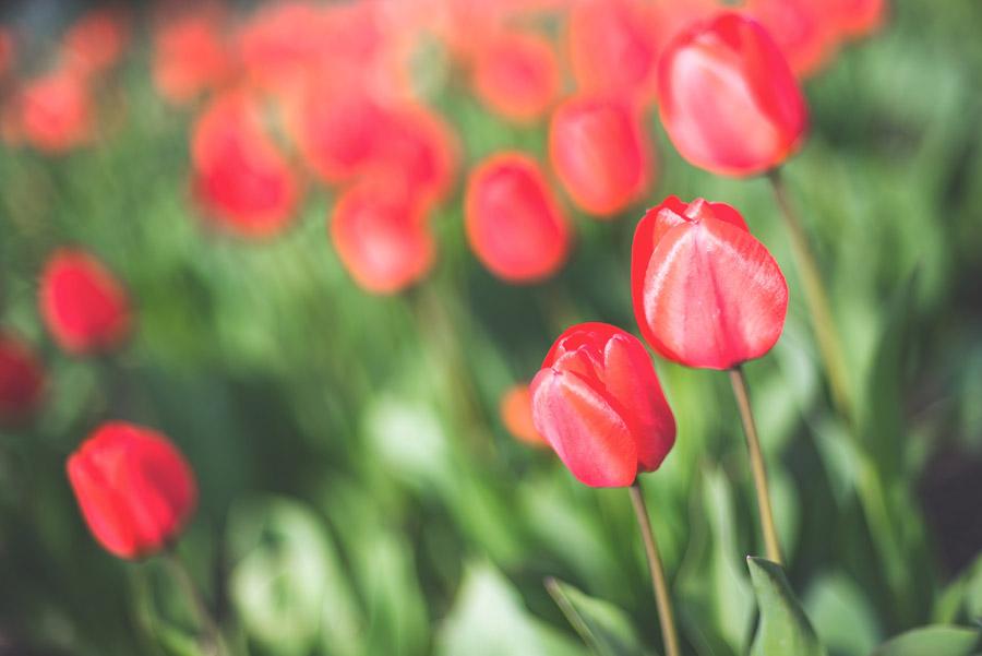 フリー写真 赤色のチューリップ畑