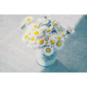 フリー写真, 植物, 花, ヒナギク(デージー), 白色の花