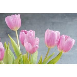 フリー写真, 植物, 花, チューリップ, ピンク色の花