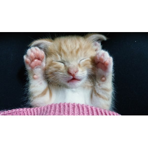 フリー写真, 動物, 哺乳類, 猫(ネコ), 子猫, 子供(動物), 寝る(動物), 茶白猫, バンザイ(動物)