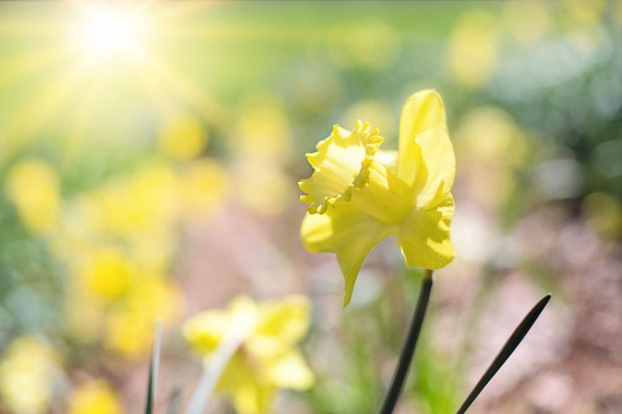 フリー写真 光とラッパスイセンの花