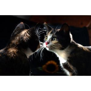 フリー写真, 動物, 哺乳類, 猫(ネコ), 子猫, 子供(動物), 鏡, 三毛猫