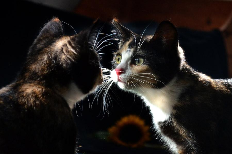 フリー写真 鏡に近づく三毛猫