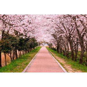 フリー写真, 風景, 並木道, 花, 桜(サクラ), ピンク色の花, 小道, 春