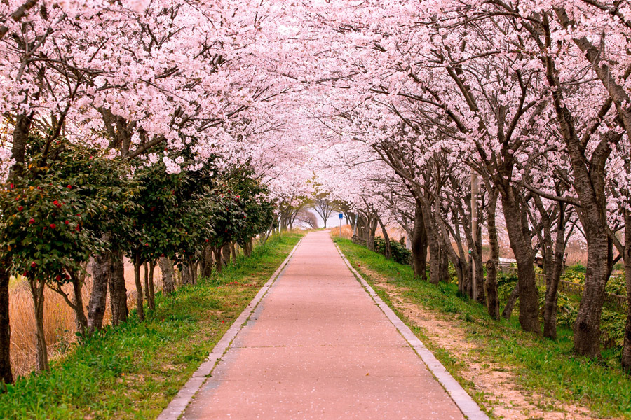 フリー写真 桜の花が咲く並木道の風景