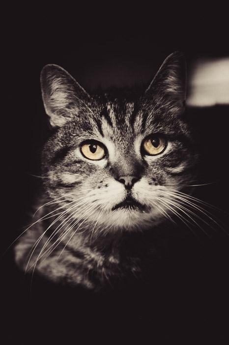 フリー写真 右上を見ているキジトラ猫