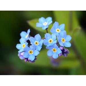フリー写真, 植物, 花, 勿忘草(ワスレナグサ), 青色の花