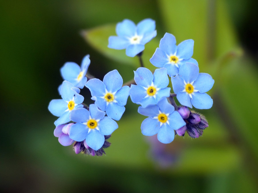 フリー写真 忘れな草の花