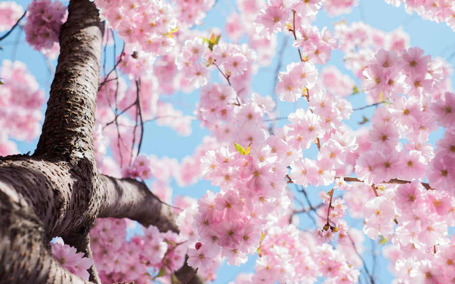 フリー写真 スウェーデンに咲く桜の花