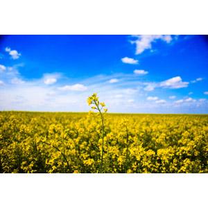 フリー写真, 風景, 植物, 花, 菜の花(アブラナ), 黄色の花, 畑, 花畑, 青空, 春