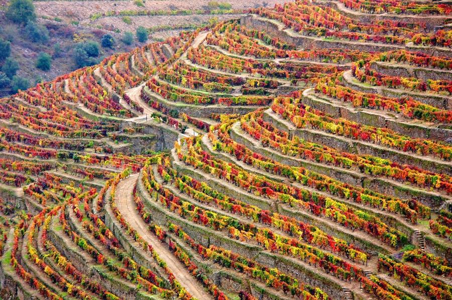 フリー写真 アルト・ドウロ・ワイン生産地域のブドウの段々畑