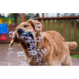 フリー写真, 動物, 哺乳類, 犬(イヌ), 子犬, 子供(動物), 口を開ける(動物), しゃぼん玉(シャボン玉), ゴールデン・レトリバー