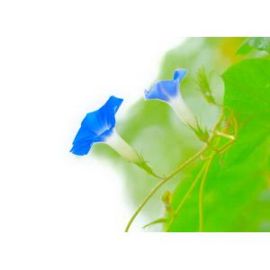 フリー写真, 植物, 花, 朝顔(アサガオ), 青色の花, 夏