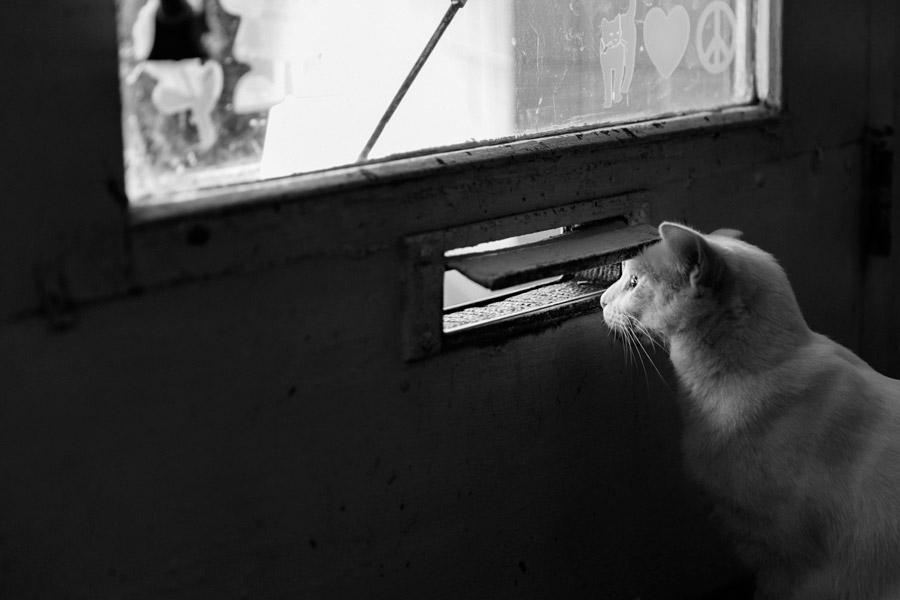 フリー写真 ドアのポスト口から外を覗く白猫