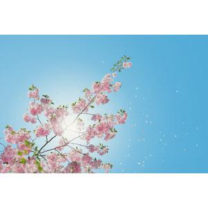 フリー写真, 風景, 自然, 植物, 花, 桜(サクラ), ピンク色の花, 青空, 花びら, 桜吹雪