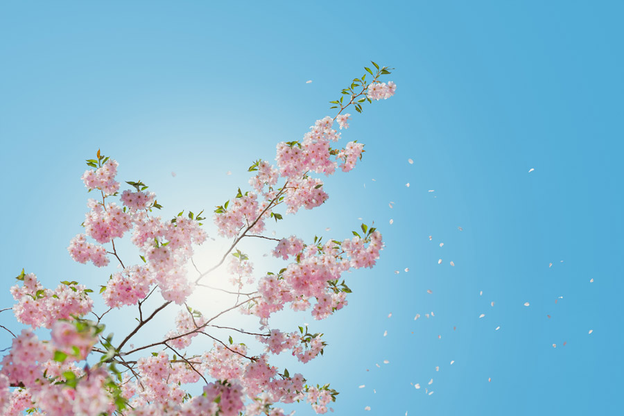 フリー写真 青空と桜の花と桜吹雪
