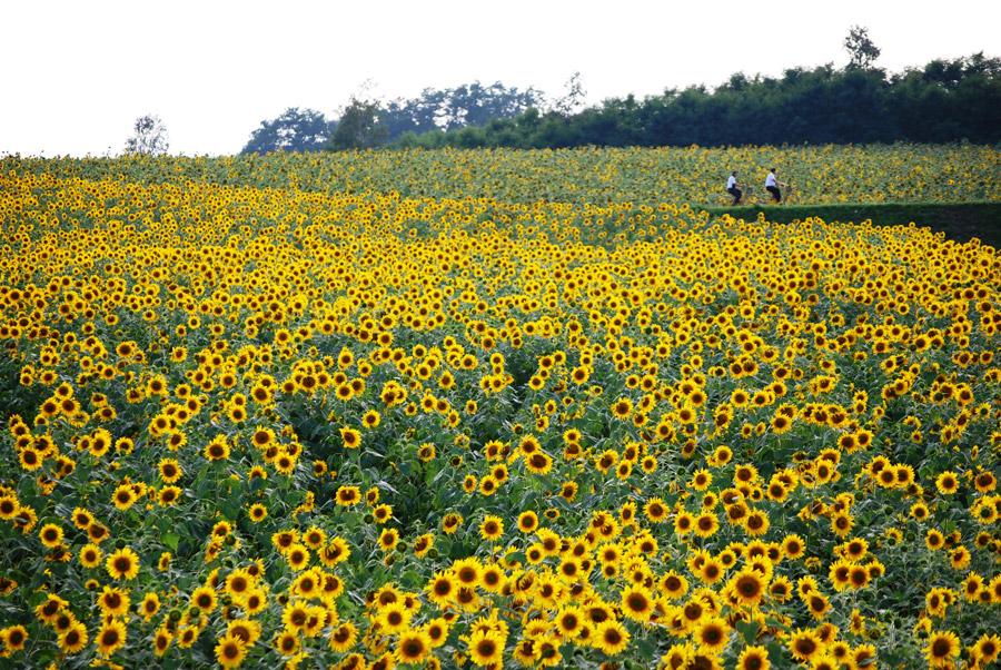 フリー写真 ひまわりの里のヒマワリ畑の風景