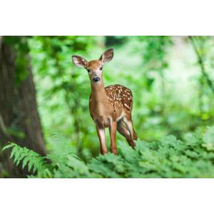 フリー写真, 動物, 哺乳類, 鹿(シカ), 子供(動物)