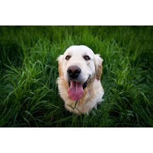 フリー写真, 動物, 哺乳類, 犬(イヌ), ゴールデン・レトリバー, 舌を出す(動物)