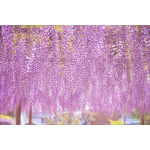 フリー写真, 植物, 花, 藤(フジ), 紫色の花