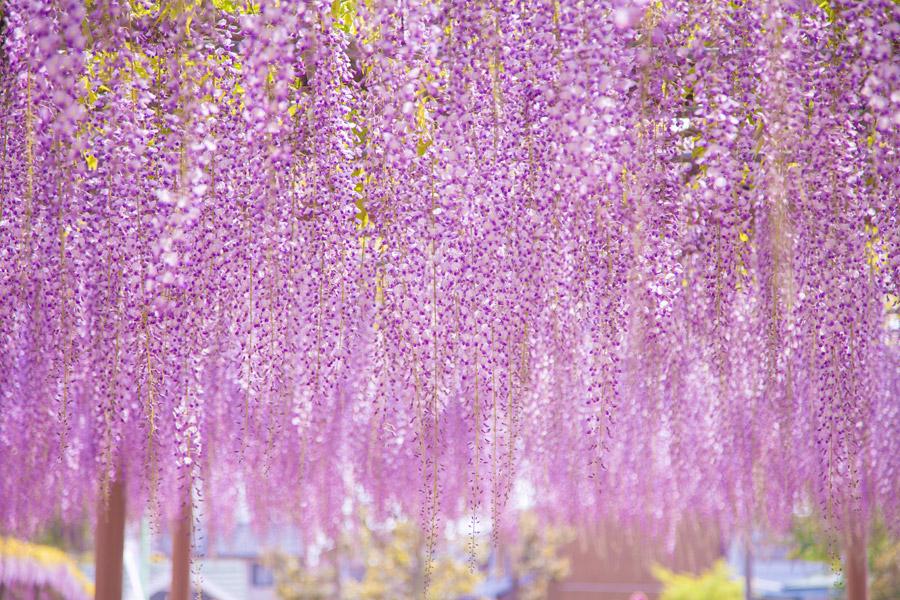 フリー写真 藤の花