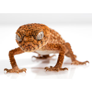 フリー写真, 動物, 爬虫類, トカゲ, ヤモリ, オニタマオヤモリ, 白背景