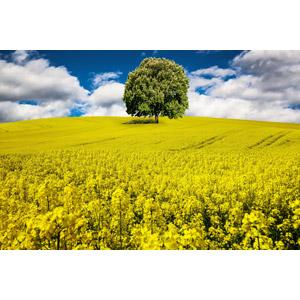 フリー写真, フォトレタッチ, 風景, 畑, 花畑, 菜の花(アブラナ), 黄色の花, 樹木, 春
