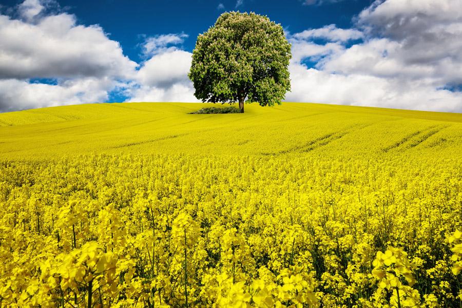 フリー写真 菜の花畑と一本の木の風景