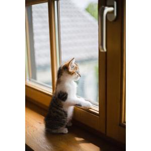 フリー写真, 動物, 哺乳類, 猫(ネコ), 子猫, 立つ(動物), 見る(動物)