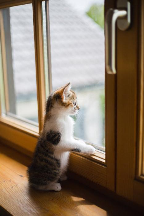 フリー写真 窓の外を見ている子猫