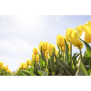 フリー写真, 植物, 花, チューリップ, 黄色の花, 花畑, 飛行機雲