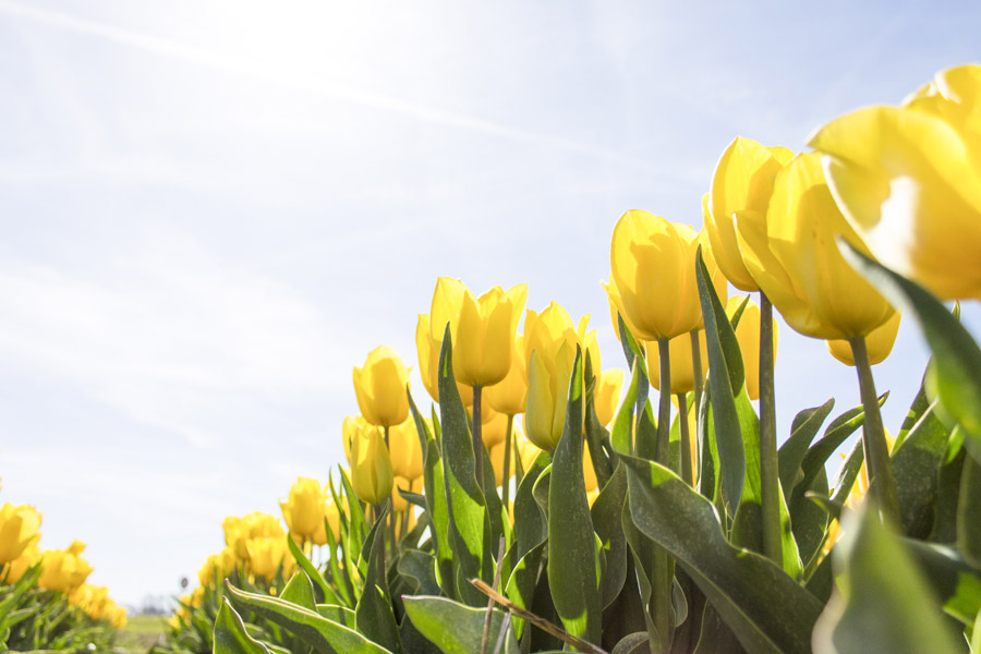 フリー写真 黄色のチューリップ畑