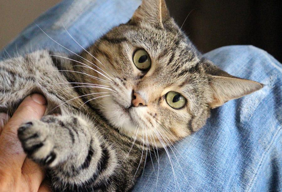 フリー写真 膝の上で仰向けになっているキジトラ猫