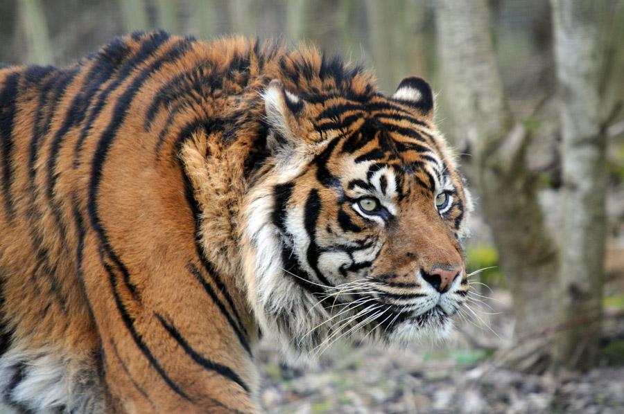 フリー写真 歩いている虎