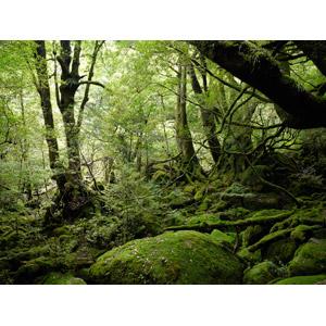 フリー写真, 風景, 自然, 森林, 樹木, 苔(コケ), 緑色(グリーン), 日本の風景, 鹿児島県, 屋久島, 世界遺産