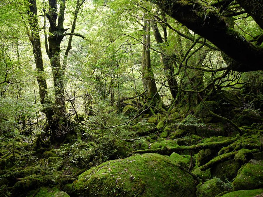 フリー写真 屋久島の原生林の風景