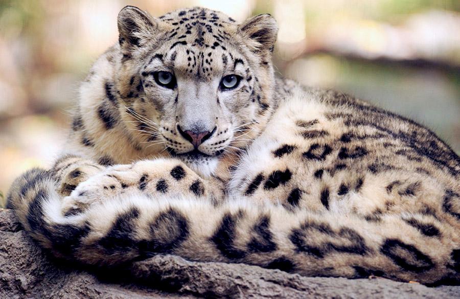 フリー写真 こちらを見ている雪豹