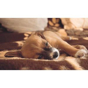 フリー写真, 動物, 哺乳類, 犬(イヌ), 子犬, 寝る(動物)