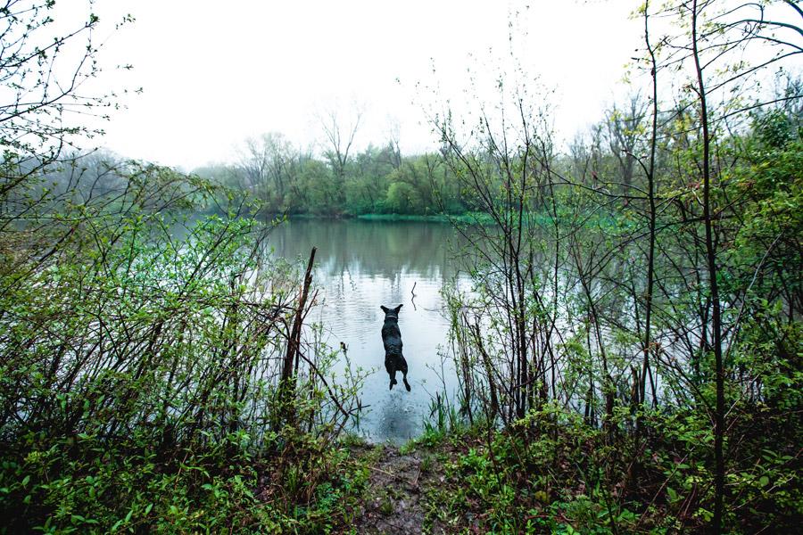 フリー写真 川に飛び込むラブラドールレトリバー