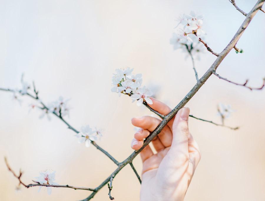 フリー写真 桜の枝に触れる手