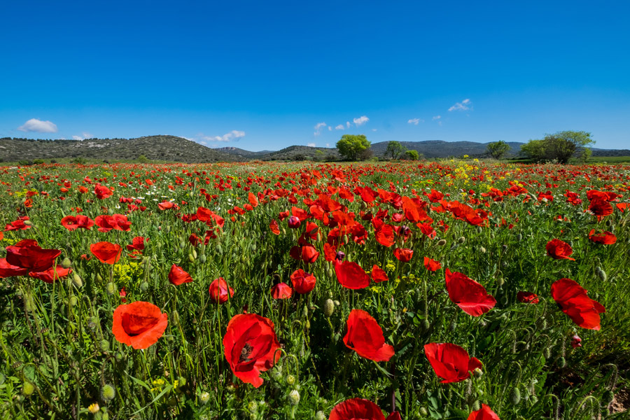 フリー写真 青空とヒナゲシ畑の風景