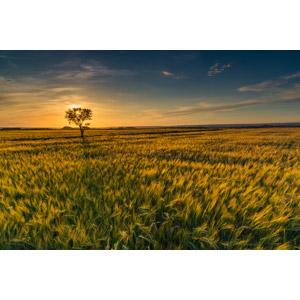 フリー写真, 風景, 畑, 作物, 穀物, 麦(ムギ), 樹木, 夕暮れ(夕方), 夕焼け
