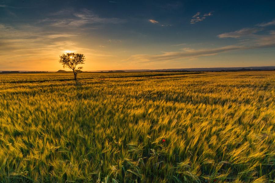 フリー写真 夕暮れの麦畑の風景