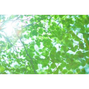 フリー写真, 植物, 葉っぱ, 新緑, 緑色(グリーン), 太陽光(日光)