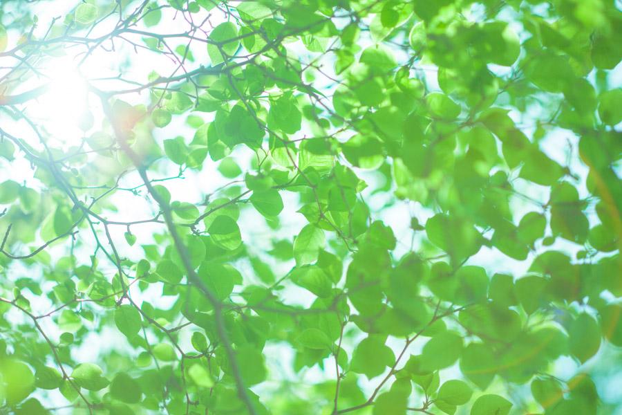 フリー写真 太陽の光と新緑の葉っぱ