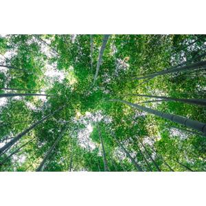 フリー写真, 風景, 自然, 竹林, 竹(タケ), 日本の風景, 京都府, 緑色(グリーン)
