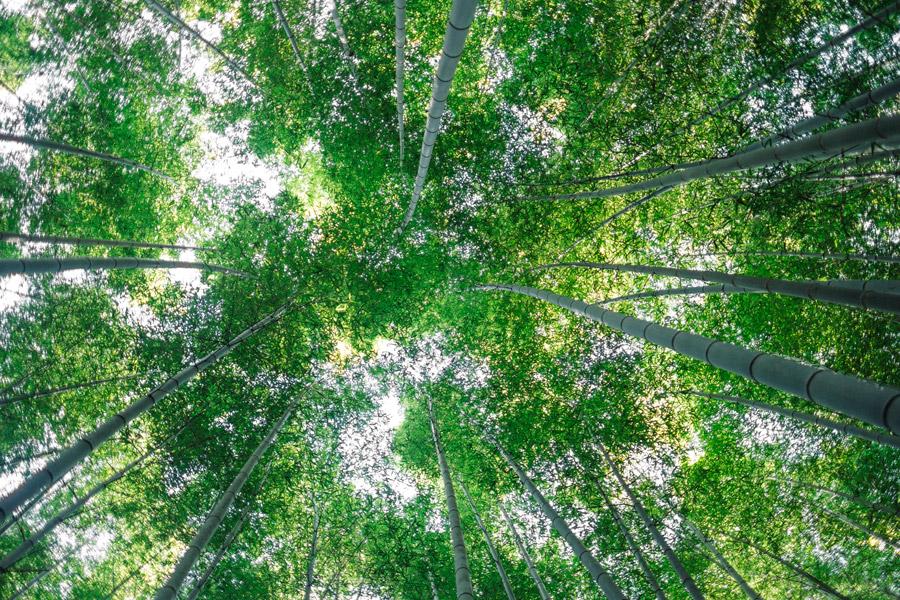 フリー写真 下から見上げる嵐山・嵯峨野の竹林の風景