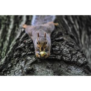 フリー写真, 動物, 哺乳類, 栗鼠(リス), 食べる(動物)